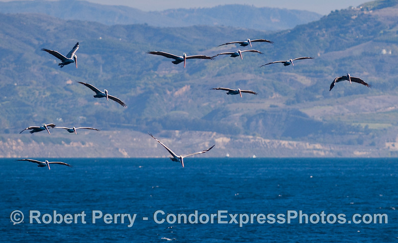 An armada of Brown Pelicans.