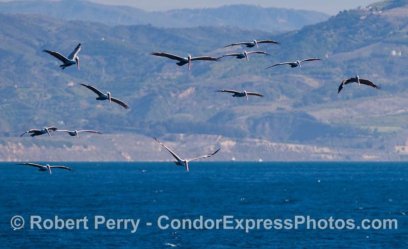 An armada of Brown Pelicans.