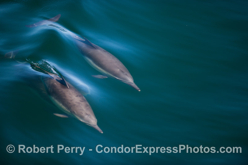 Common Dolphins ride a wave.