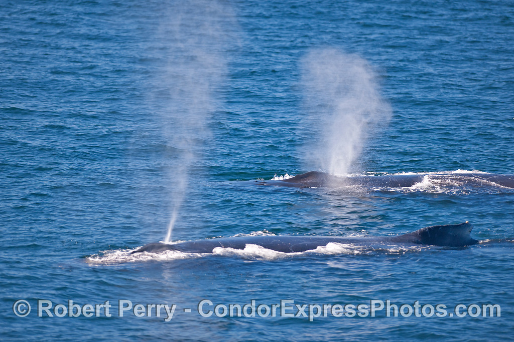 Twin spouts - Humpback Whales on the surface.