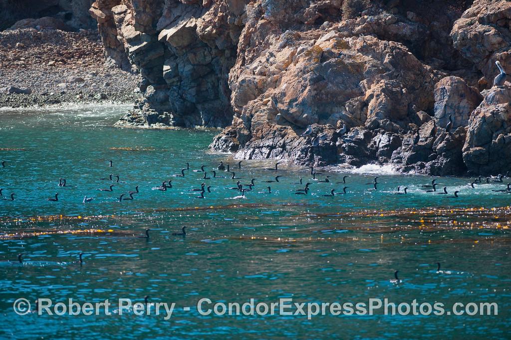 Brandt's Cormorants (Phalocrocoras penicillatus) in the emerald waters of Santa Cruz Island.