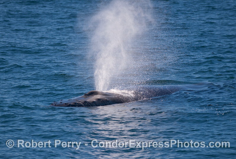 Humpback Whale heading towards the camera.