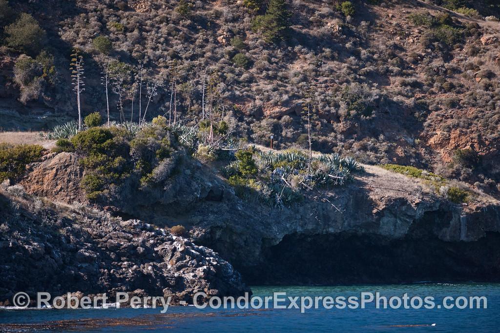 Agave (Agave americana) near Pelican Anchorage, Santa Cruz Island.