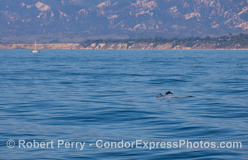 Common Dolphins leaping over the waves.