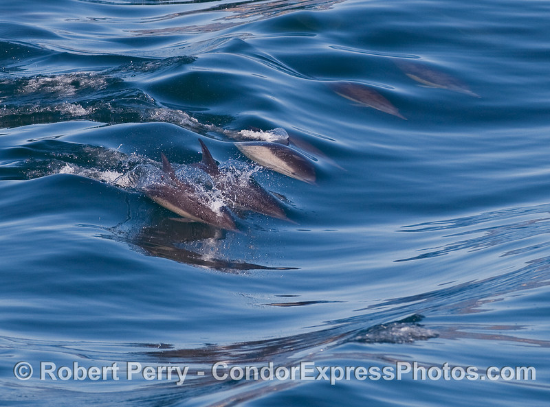 A mass of Common Dolphins surfing.