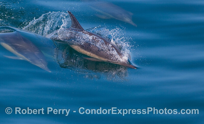Slicing the glass, Common Dolphins on a blue mirror.