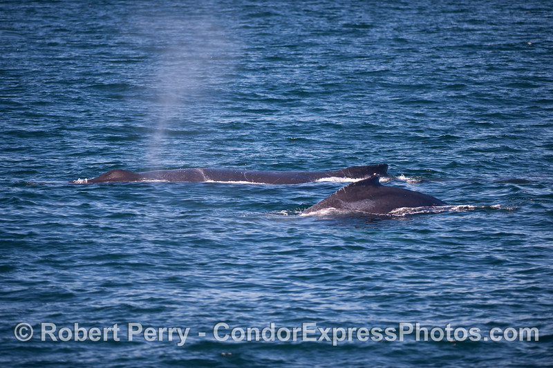 """Two Humpback Whales, the one in back is """"Rope,"""" our perennial friend."""