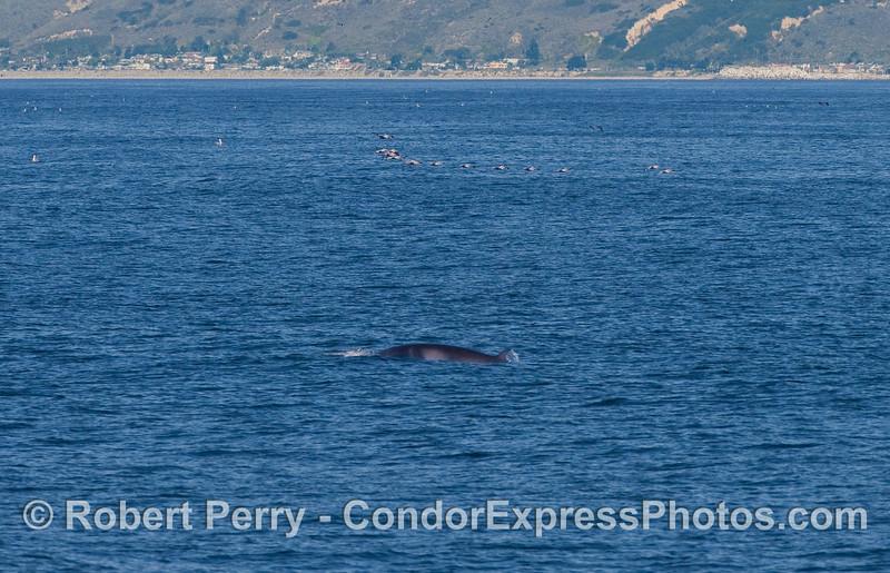 The elusive Minke Whale.