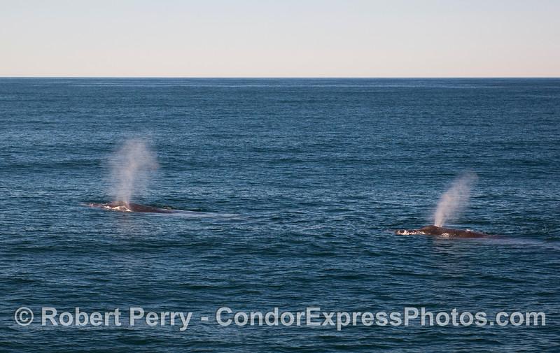 Two Humpback Whale spouts.