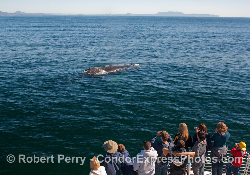 The whalers on board the Condor Express get a close up look at a Humpback Whale.  In the background is Boney Ridge, between the Oxnard Plain and Malibu.