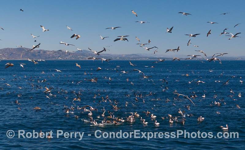 A massive feeding frenzy off the western Ventura shoreline.  A ball of northern Anchovies (Engraulis mordax) is being attacked by gulls and pelicans from above, and from dolphins, sea lions, and whales from below.