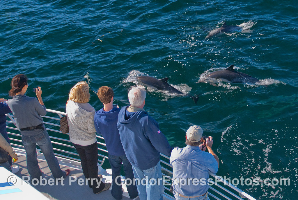 Common Dolphins visit the whalers on board the Condor Express.