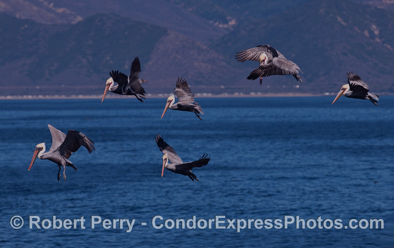 Six Brown Pelicans (Pelecanus occidentalis) on the hunt.