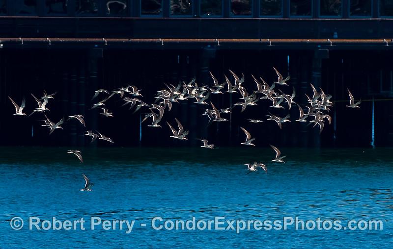A flock of Black Skimmers (Rynchops niger) alongside Stern's Wharf.