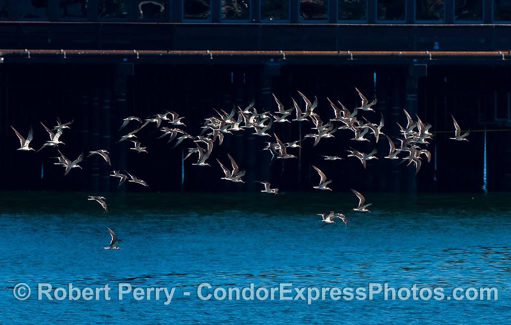 A flock of Black Skimmers (Rynchops niger) alongside Stern's Wharf.