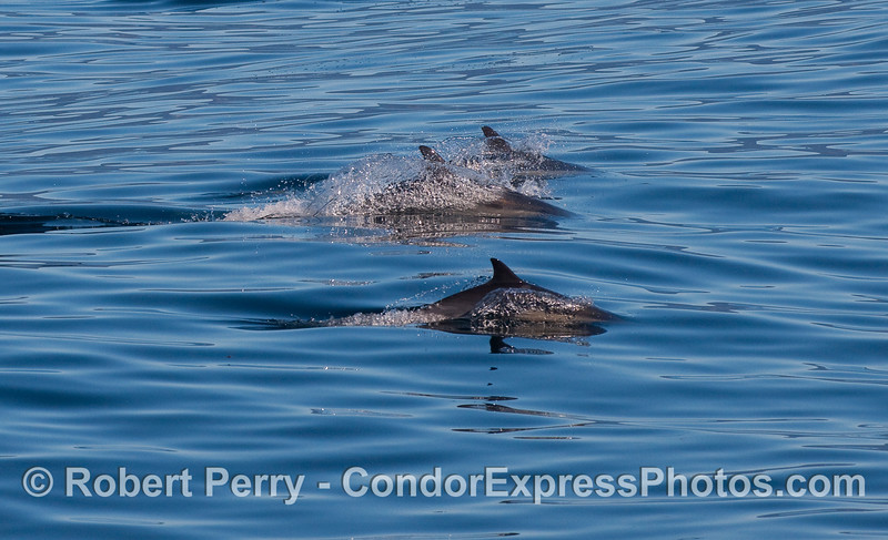 Common Dolphins, three.