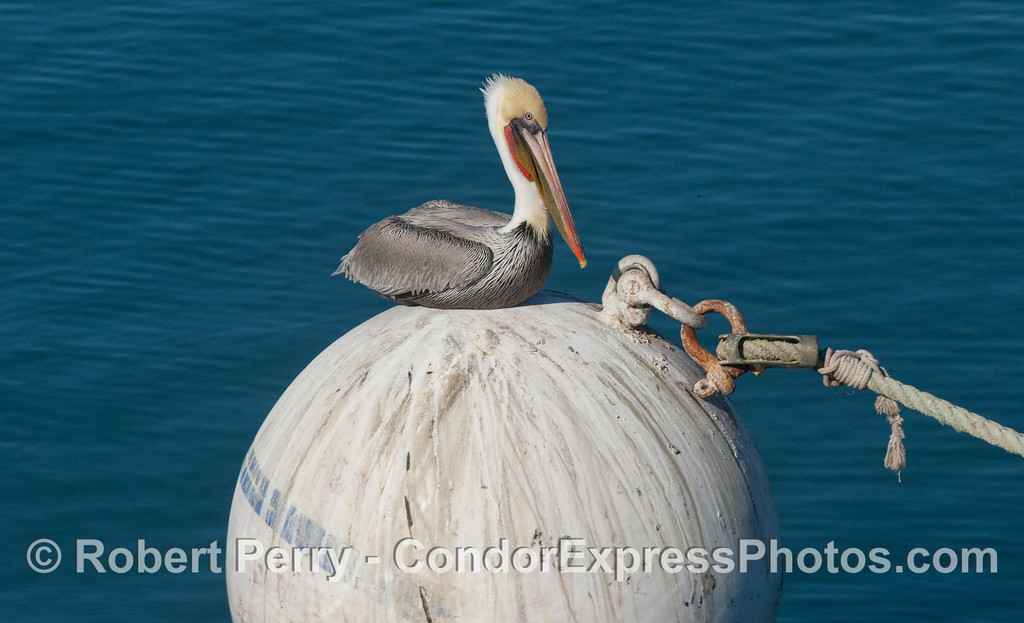 A Brown Pelican (Pelecanus occidentalis) resting on a mooring float.