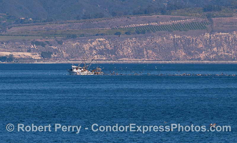 A commercial fishing boat off the Ventura coast attracts a lot of marine birds.