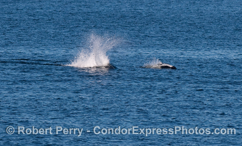 Two Dall's Porpoise moving a top speed.