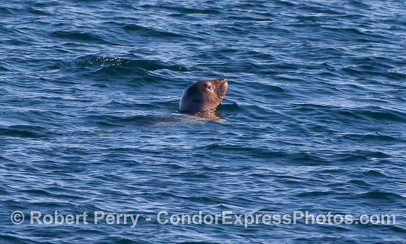 A solo Elephant Seal resting on the surface in the middle of the Santa Barbara Channel.