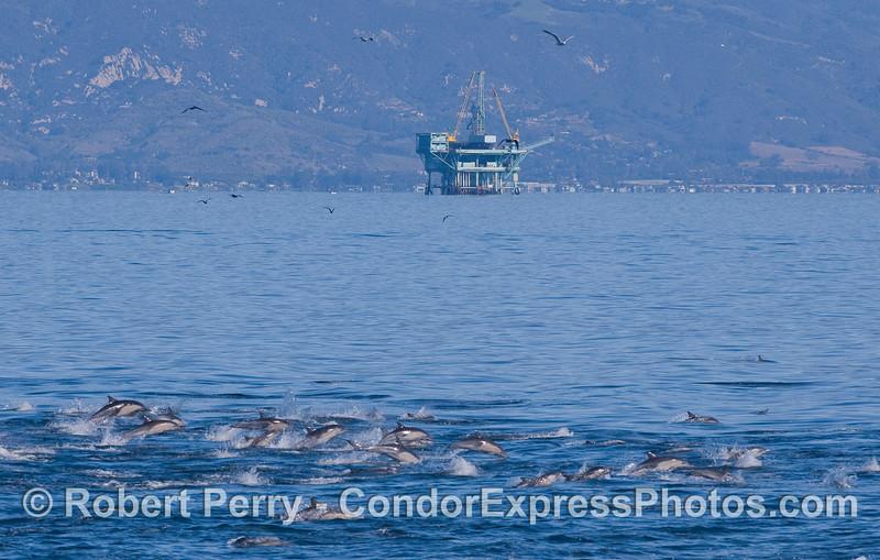 Delphinus stampede & Platform Habitat in back 2010 11-26 SB Channel - 251