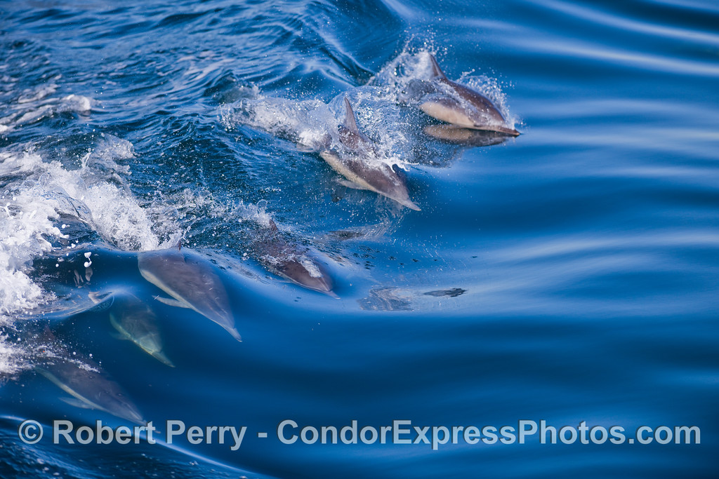 Surfing Common Dolphins.