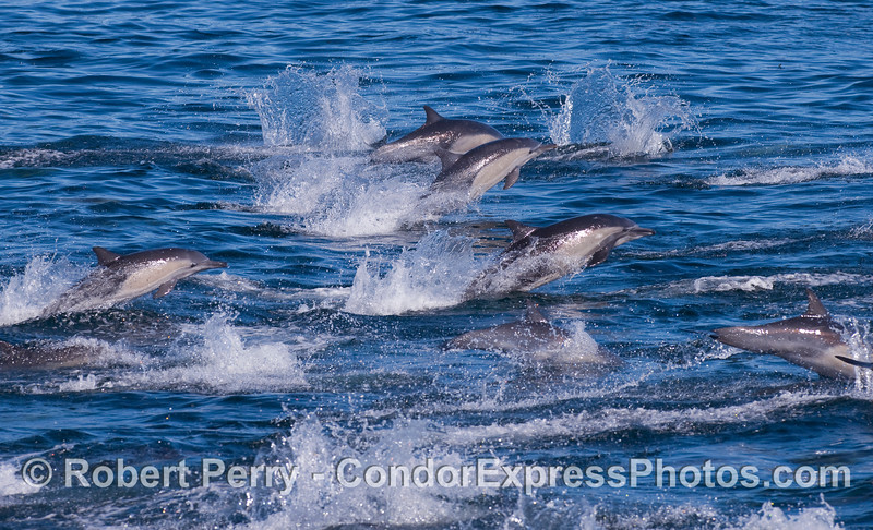 Lots of leaping Common Dolphins.