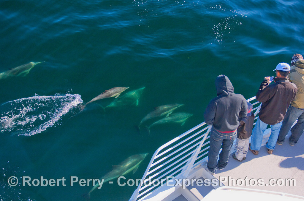 Whalers on board the Condor Express enjoy a close up visit by Common Dolphins.