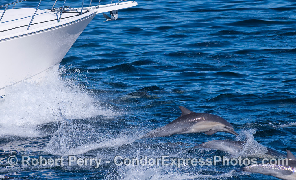 Common Dolphins ride the bow of a small boat.