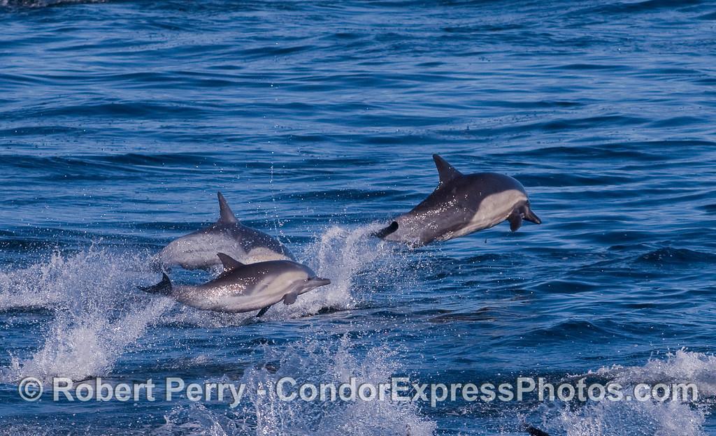 Airborne Common Dolphins.