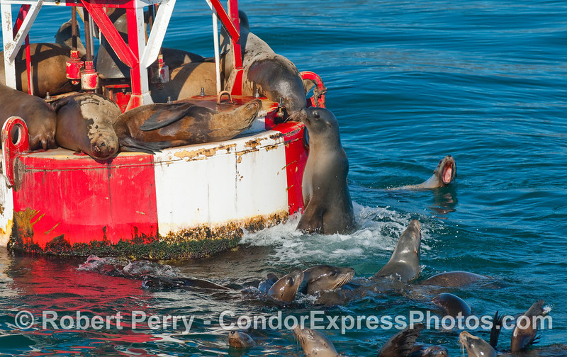 Frozen like a statue - California Sea Lions on the harbor entrance buoy.