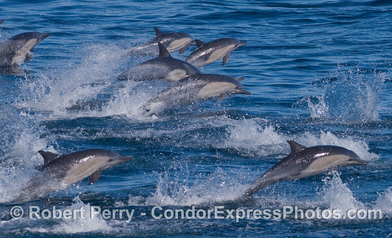 Leaping Common Dolphins.
