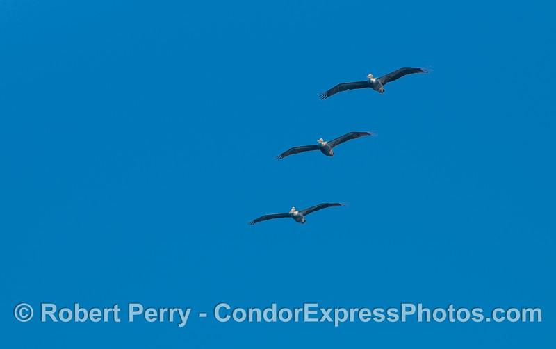 Three Brown Pelicans (Pelecanus occidentalis).