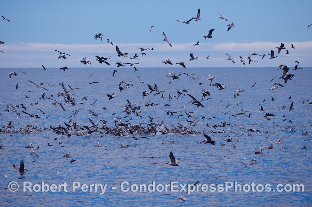 An oceanic hot spot with a feeding frenzy of marine birds and Calfornia sea lions.