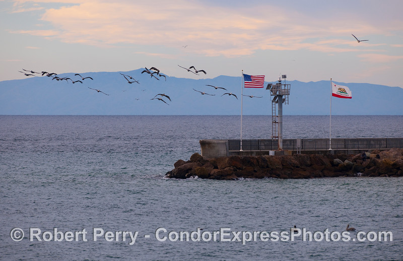 A flock of Brown Pelicans near the jetty at Santa Barbara Harbor.