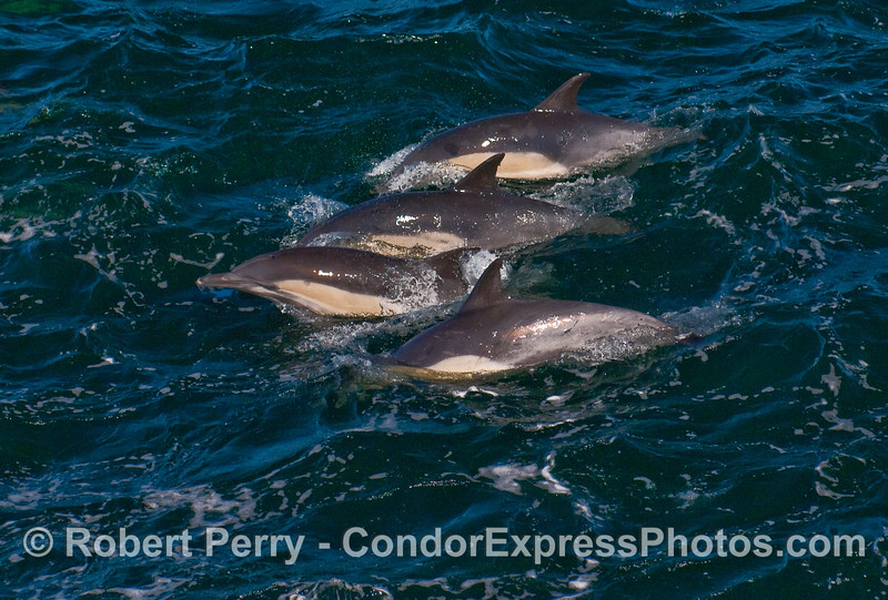 A closely packed group of Common Dolphins on the move with the herd.