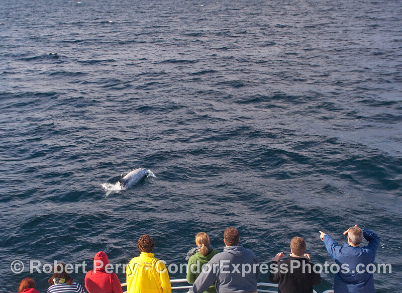A Risso's Dolphin (Grampus griseus) rides the bow of the Condor Express.