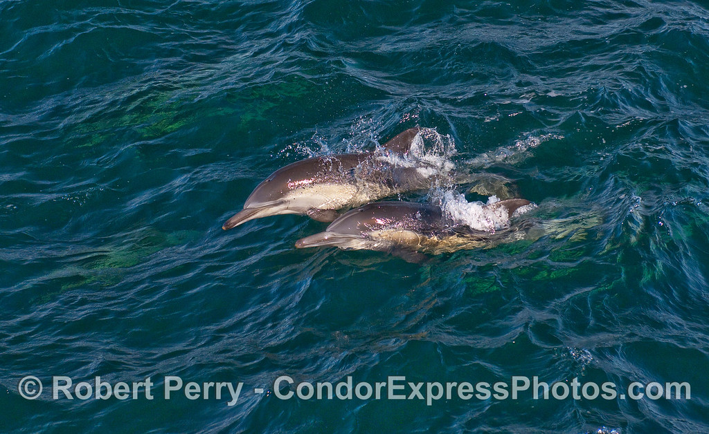 Common Dolphins (Delphinus capensis) leaping - 6.