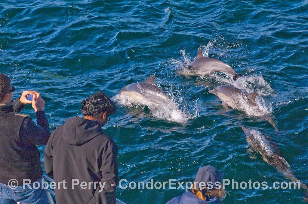 Common Dolphins (Delphinus capensis) visit the whalers on board the Condor Express.