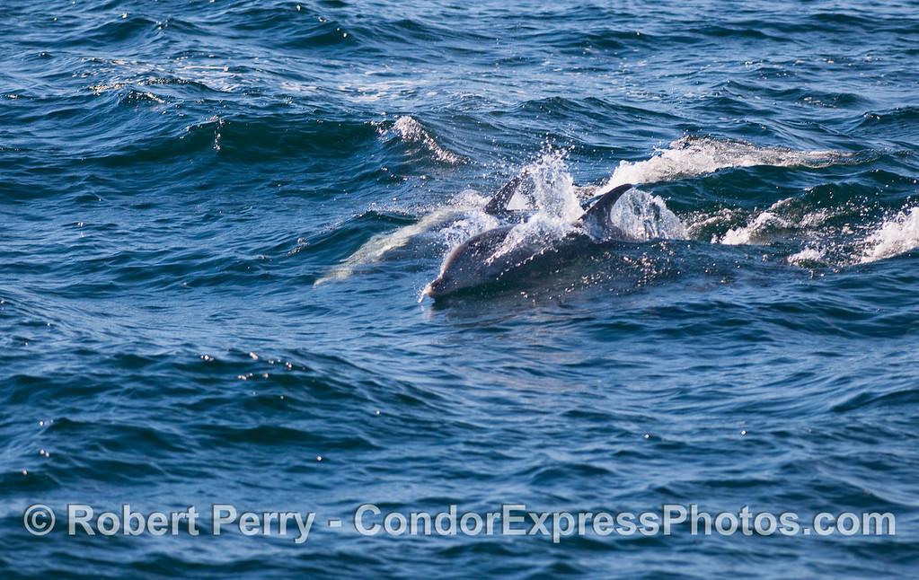 Tursiops truncatus Offshore 2010 12-11 SB Channel - 008