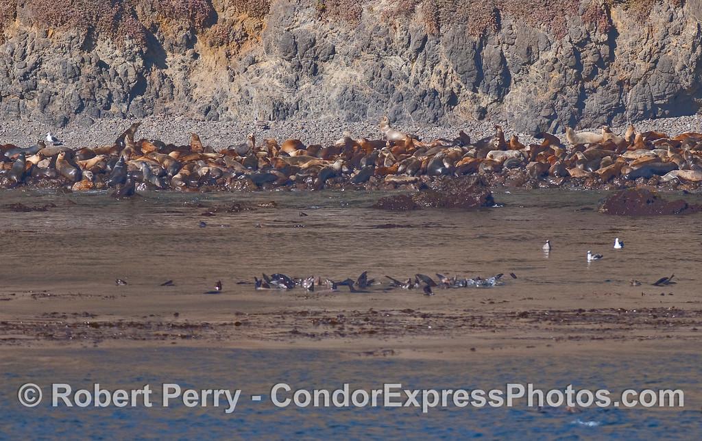 California Sea Lion masses at the base of the cliffs, East Anacapa Island.