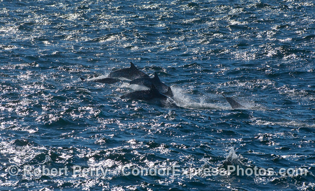 Common Dolphins (Delphinus capensis) leaping - 3.