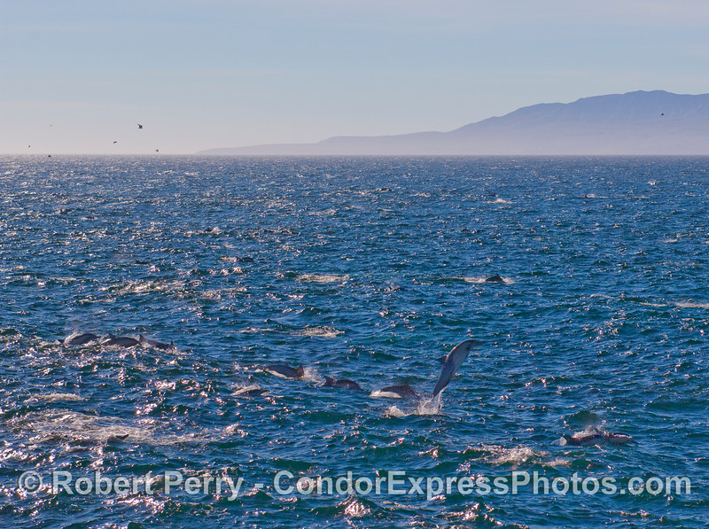 A mass of Common Dolphins (Delphinus capensis) and one high flyer.