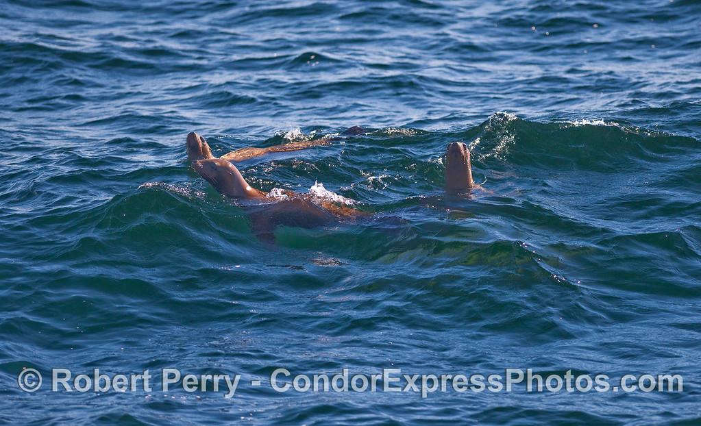 Three curious California Sea Lions (Zalophus californianus).