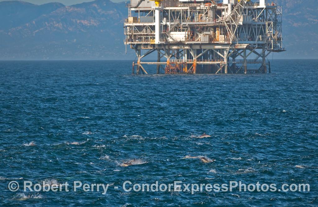 Masses of Common Dolphins (Delphinus capensis) near oil platform Gilda.