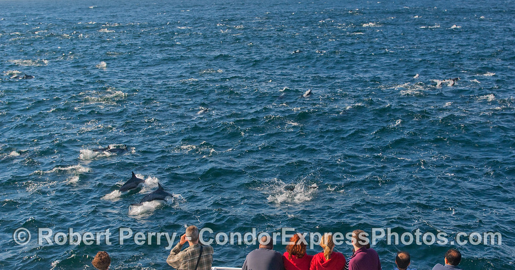 Masses of Common Dolphins (Delphinus capensis) delight the lucky whalers on board the Condor Express.