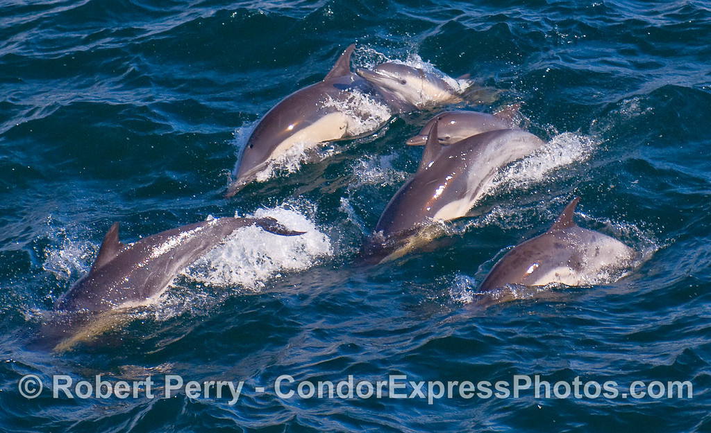 Common Dolphins (Delphinus capensis) leaping - 5.
