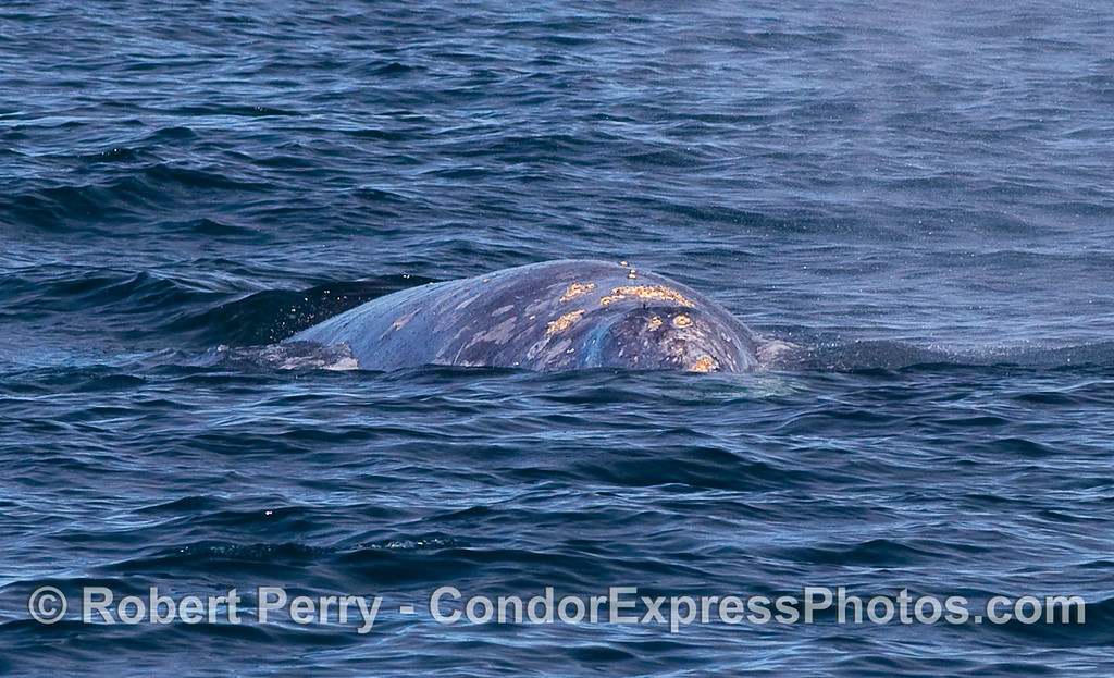 A head-on view of a Gray Whale (Eschrichtius robustus).