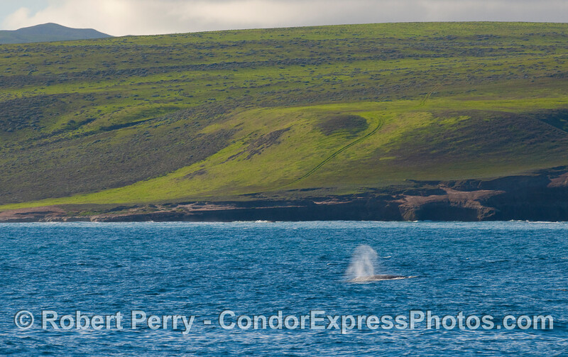 A Gray Whale (Eschrichtius robustus) with the eastern end of Santa Rosa Island in back.