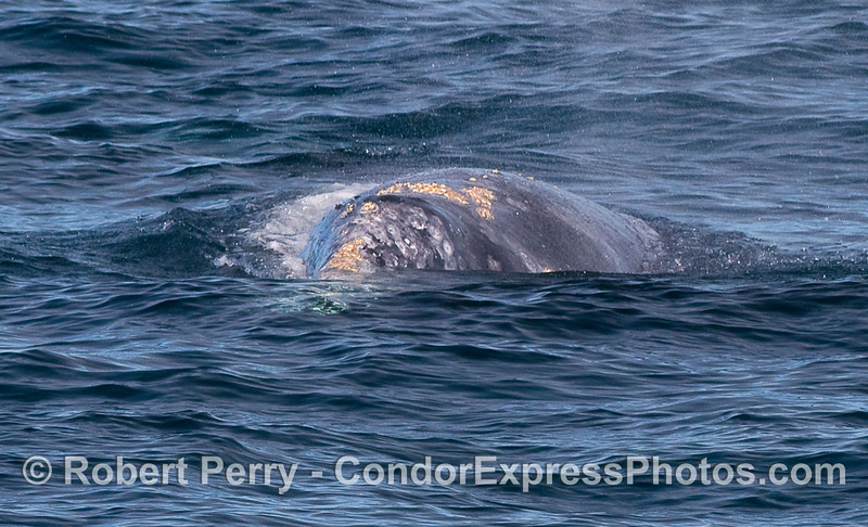 Another head-on view of a Gray Whale (Eschrichtius robustus).